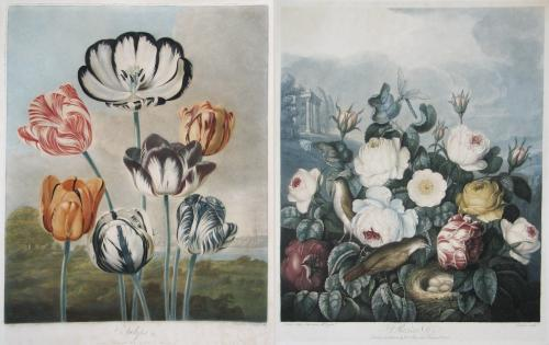 Dr Robert Thornton's Roses and Tulips from 'The Temple of Flora'.
